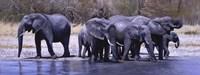 Elephants Drinking Fine Art Print