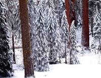 Pines in Winter, California 95 Fine Art Print