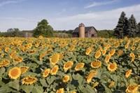 Sunflowers & Barn, Owosso, MI 10 Fine Art Print