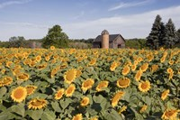Sunflowers & Barn, Owosso, MI 10 Fine Art Print
