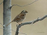 White Throat Sparrow Fine Art Print