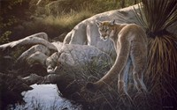 Creekside Cougar Fine Art Print