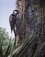 Red Cockaded Woodpecker Fine Art Print