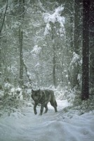 Winter Encounter - Wolf Fine Art Print