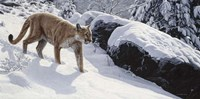 Soft Snow- Cougar Fine Art Print