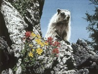Young Marmot Fine Art Print