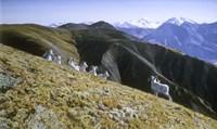 Dall Sheep Fine Art Print