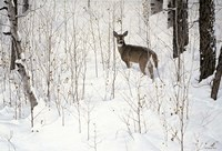 Deep Snow- Whitetail Fine Art Print