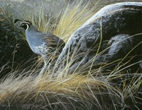 California Quail Fine Art Print