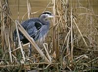 Early Spring - Great Blue Heron Fine Art Print