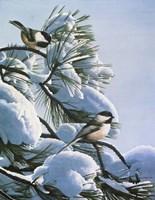 Snow On The Pine - Chickadees Fine Art Print