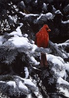 Cardinal In Blue Spruce Fine Art Print