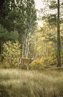 Autumn Aspen - White Tailed Deer Fine Art Print