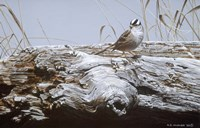 White Crowned Sparrow Fine Art Print