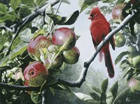 Cardinal And Apples Fine Art Print
