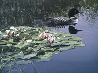 Loon And Lilies Fine Art Print