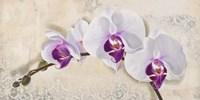 Royal Orchid Fine Art Print