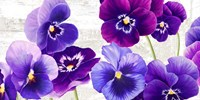 Dance of Pansies Fine Art Print