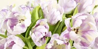 Tulipes en Fleur Fine Art Print