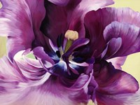 Purple Tulip Close-up Fine Art Print
