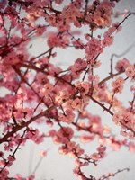 Cherry Blossoms I Fine Art Print