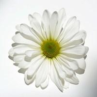 White Daisy II Fine Art Print