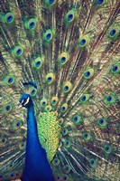 Royally Blue I Fine Art Print