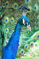 Royally Blue II Fine Art Print