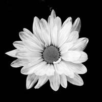 White Daisy I Fine Art Print