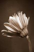 Sepia Flower II Fine Art Print