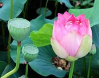 Purple Lotus I Fine Art Print