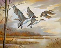 Pintails Fine Art Print