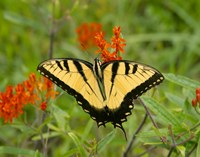 Black Yellow Butterfly I Fine Art Print