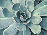 Teal Succulent Fine Art Print