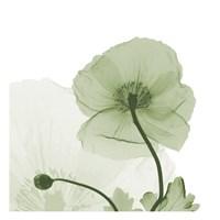 Sage Iceland Poppy Fine Art Print