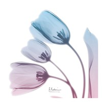 Soft Tulips Rose Serenity Fine Art Print