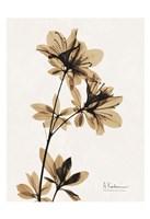 Aged Azalea Framed Print
