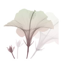 Neapolitan Hibiscus Fine Art Print