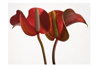 Anthurium 1 Fine Art Print