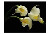 Three Calla Lillies Fine Art Print