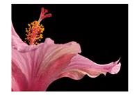 Hibiscus 1 Fine Art Print