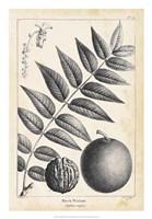 Vintage Black Walnut Tree Fine Art Print