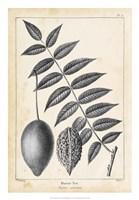 Vintage Butternut Tree Fine Art Print
