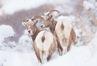 Bighorns Two Fine Art Print