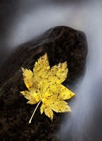 Maple Leaf Stranded Fine Art Print