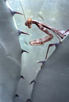 Mantis Agave Fine Art Print