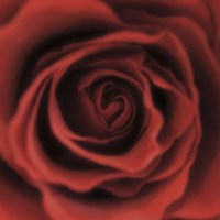 Red Rose Square Fine Art Print