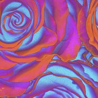 Pink Orange Blue Roses Fine Art Print