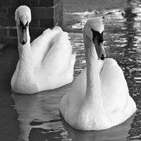 Swans In Love BW Fine Art Print