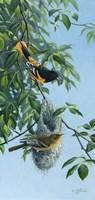 Nesting Orioles Fine Art Print